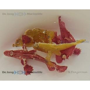 Taenianotus Triacanthus (Amarillo)