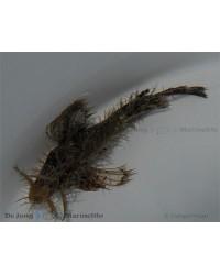 Pteroidichthys Amboinensis