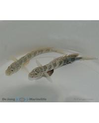 Cryptocentrus Leptocephalus