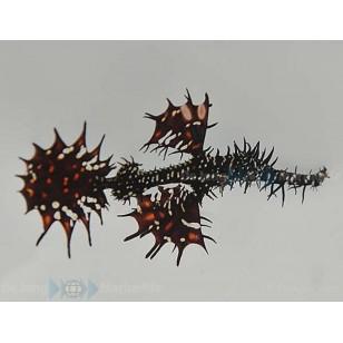 Solenostomus