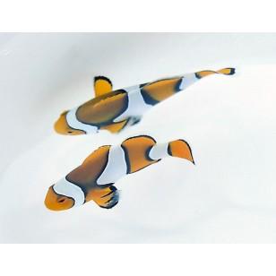 Amphiprion Percula (Negro) (Pareja)