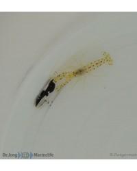 Lotilla Graciliosa (Pareja simbionte)