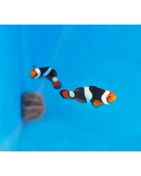Amphiprion Percula Onyx