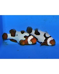 Amphiprion Percula Picasso
