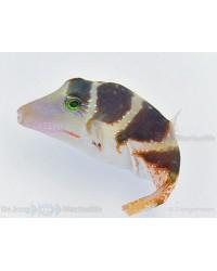 Canthigaster Coronata