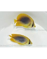 Chaetodon Aureofasciatus