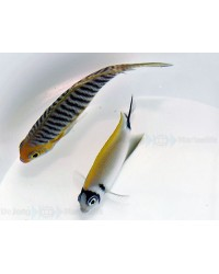 Genicanthus Semifasciatus (Hembra)
