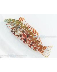 Macropharyngodon Lapillus (Islas Mauricio)