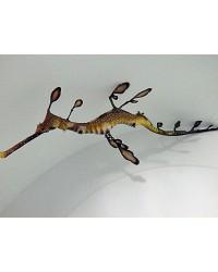 Phyllopterus Taeniolatus Weedy Seadragon