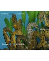 Hippocampus Abdominalis (Pareja)