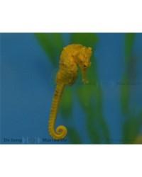Hippocampus Ingens