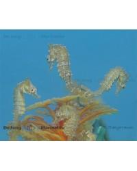 Hippocampus Zosterae (Caballito Enano)