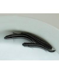 Pseudochromis Sankeyi