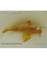 Rhinopias Eschmeyeri (Amarillo)