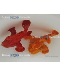 Antennarius Sp (Naranja)