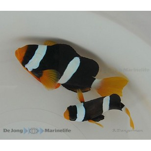 Amphiprion Clarkii