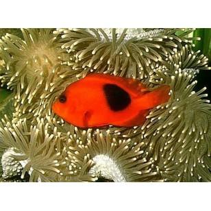 Amphiprion Ephippium (Pareja)