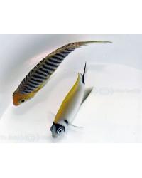 Genicanthus Semifasciatus (Macho)