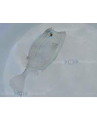 Acanthostracion Quadricornis