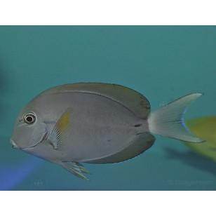 Acanthurus Nigricauda