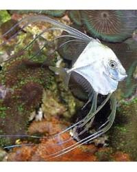 Alectis Ciliaris