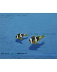 Amphiprion Latifasciatus (Pareja)