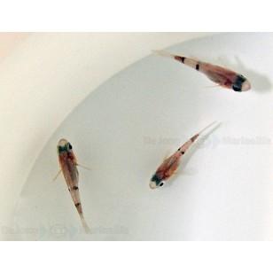 Apogon Retrosella