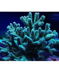 Esqueje de Coral