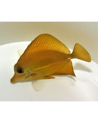 Zebrasoma Scopas (Amarillo)