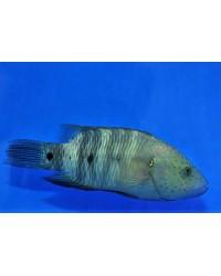 Cheilinus Lunulatus (Mar Rojo)