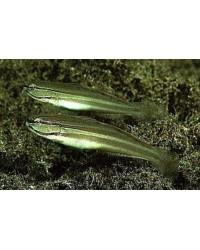 Amblygobius Nocturnus