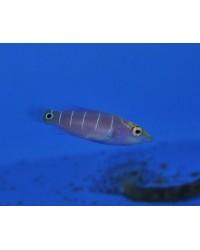 Pseudocheilinus Ocellatus (Micronesia)