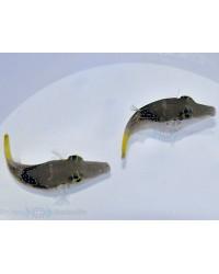 Canthigaster Epilampra