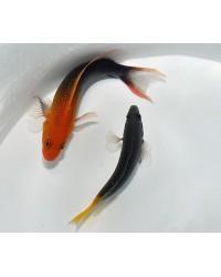 Pseudochromis Steenei (Pareja)