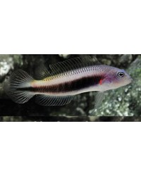 Pseudochromis Tonozukai (Hembra)