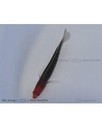 Pseudochromis Dilectus