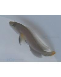 Pseudochromis Marshallensis