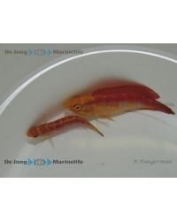 Cirrhilabrus Jordani (Pareja)