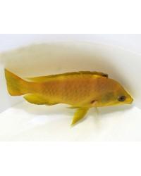 Epibulus Insidiator (coloreado)