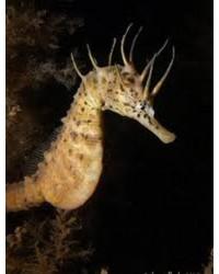 Hippocampus Bleekeri (Pareja)