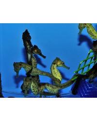 Hippocampus Kuda (Amarillento)