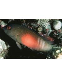 Labracinus Cyclophthalmus