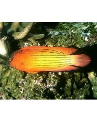 Labracinus Lineatus