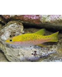 Liopropoma Lunulatum