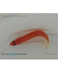 Lubbockichthys Multisquamatus