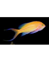 Pseudanthias Fasciatus (Macho)