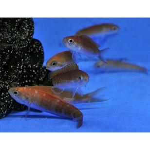 Rabaulichthys Squirei (Hembra)