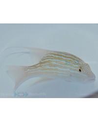 Symphorus Nematophorus