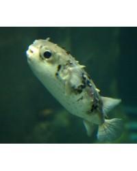 Tragulichthys Jaculiferus