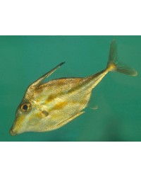 Tripodichthys Blochii